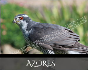 Azores Reproductoes